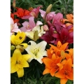 Florist Choice Bouquet inc Lillies from $40